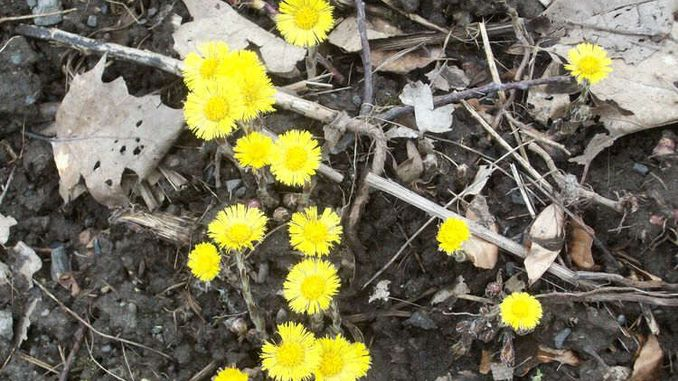 678px_coltsfoot