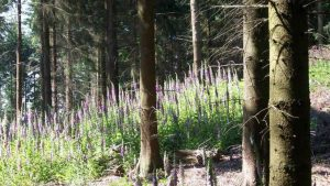 Digitalis at Lohrberg