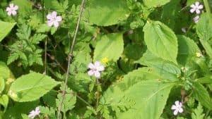 Geranium robertiarum
