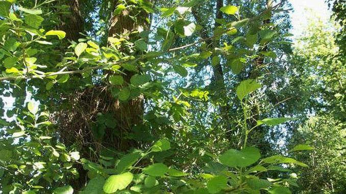 Ripuarian trees