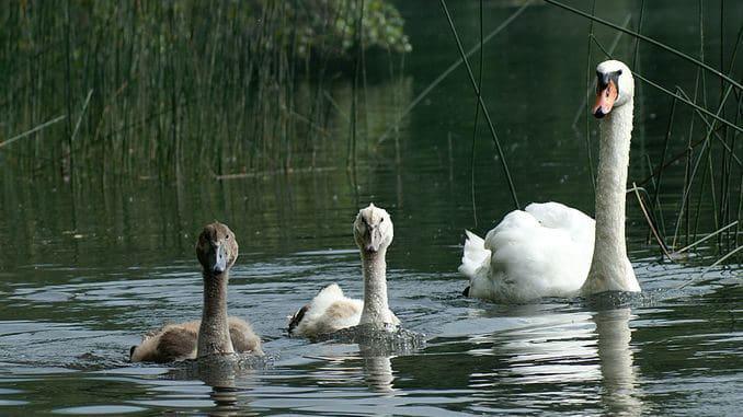 Swan family seen at Hohenems, Alter Rhein, Austria